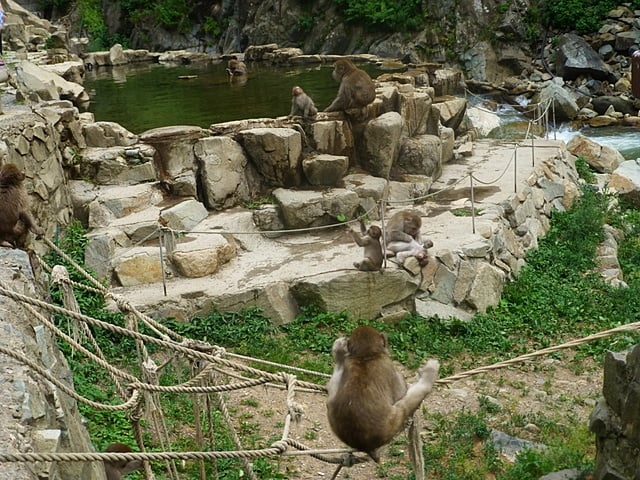 The wild monkey which plays in a hot spring